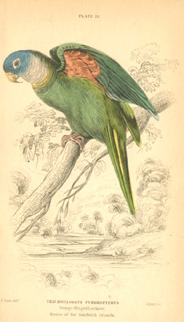 Edward Lear Trichoglossus Pyrrhopterus, Orange-Winged Lorikeet engraving c1836