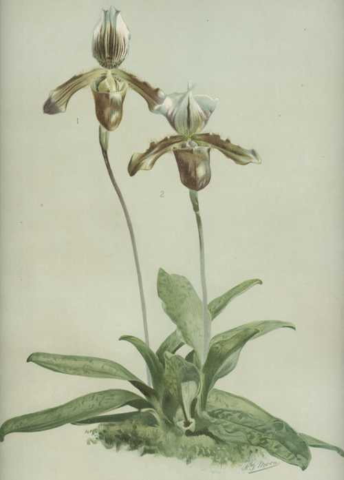 Cypripedium, Slipper Orchids. Sander's Reichenbachia lithograph after H.G. Moon. c1890
