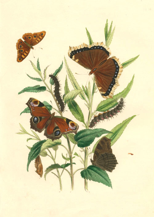 Lovely antique print of Vanessa Butterflies. Lithograph c1860.