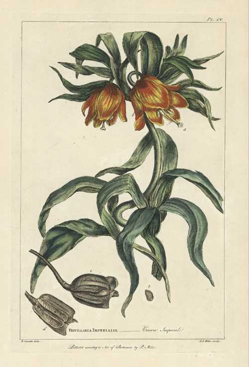 P. Miller 18th century engraving Fritillaria Imperialis, Crown Imperial, c1800