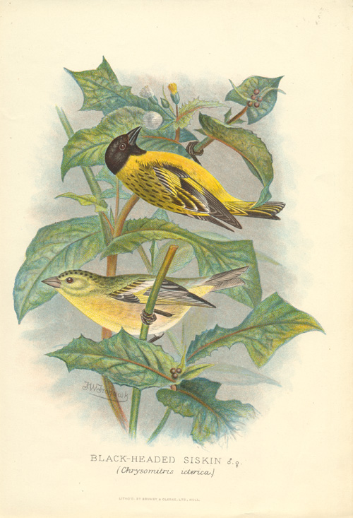 Black-headed Siskin, Chrysomitris icterica (Spinus notatus) lithograph c1896.