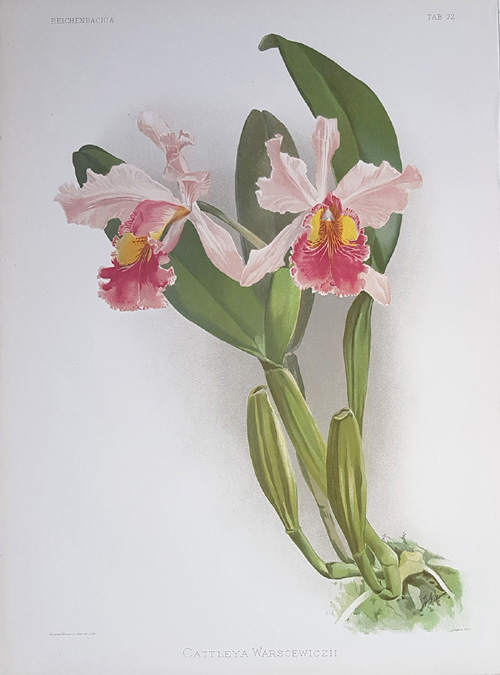 Cattleya Warscewiczii. Sander's Reichenbachia orchid lithograph c1894.