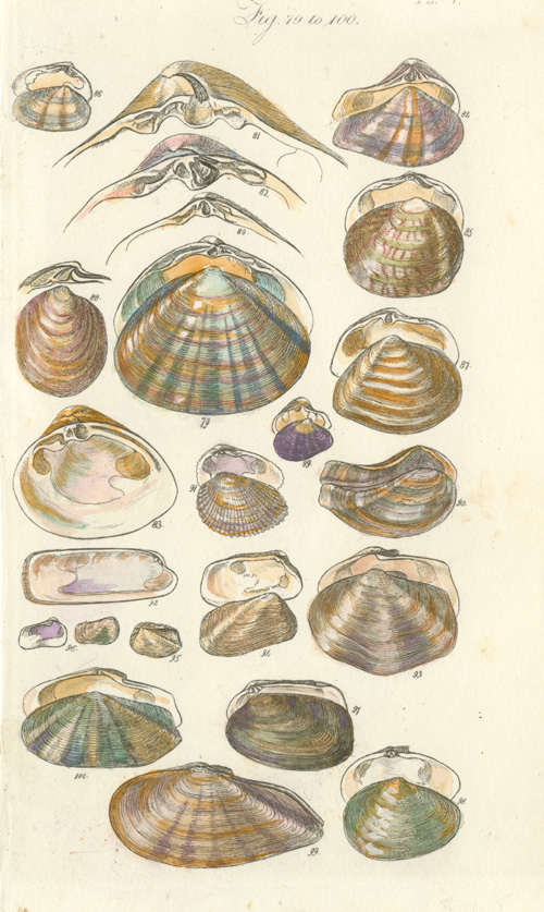 Bivalve details. Pretty little shells antique print. Sowerby c1820.