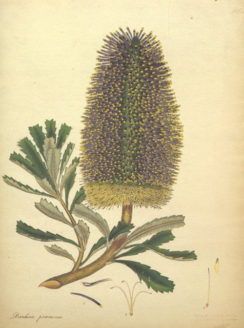 Australian Banksia Praemorsa. Banksia illustration by Henry Andrews