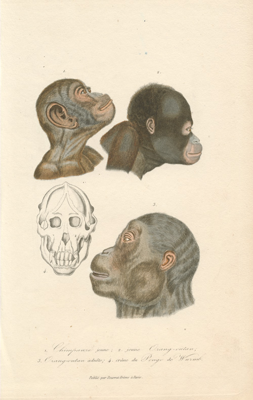Wonderful antique print of Chimpanzee and Orang-outan head-studies c1820