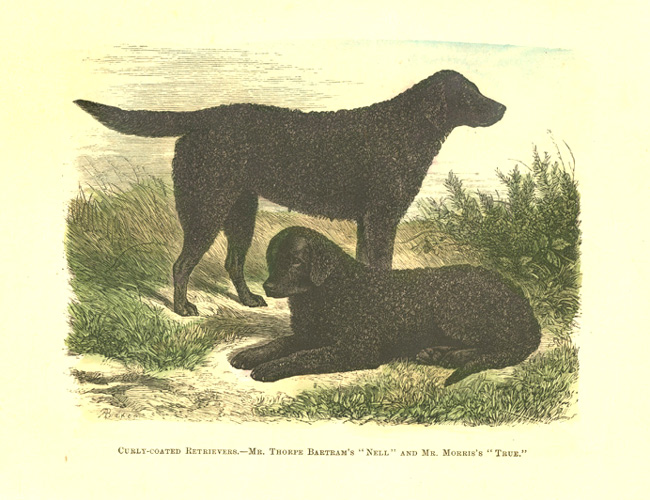 "Curly-coated Retrievers. ""Nell"" and ""True"" black retrievers engraving c1878."