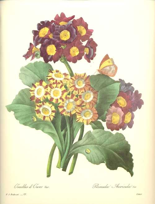 Redoute Primula Auricula. Primulas and butterfly, flowers print.
