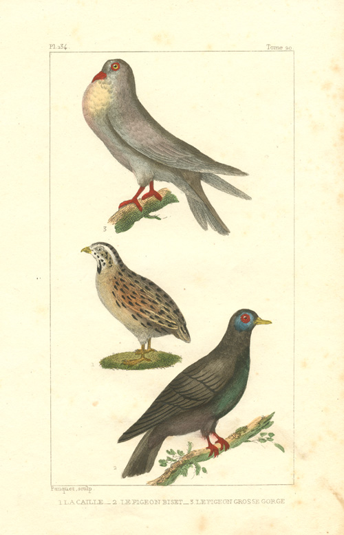 Quail with Culver Pigeon and Large-throated Pigeon. Pauquet engraving c1836.