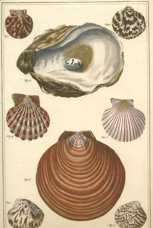 Gualtieri Beautiful Bivalve Shells. Large engraving c1760.