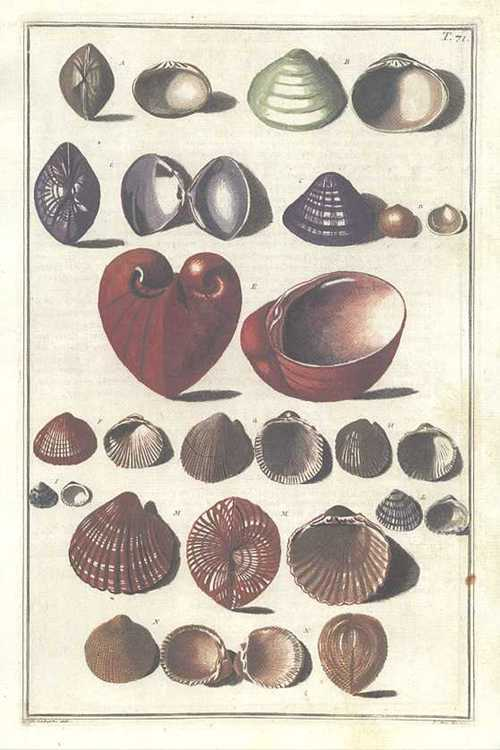 Gualtieri Conchology group of shells T71 print