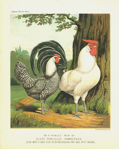 Poultry: Chickens. Silver Pencilled Hamburgs. Lithograph c1880