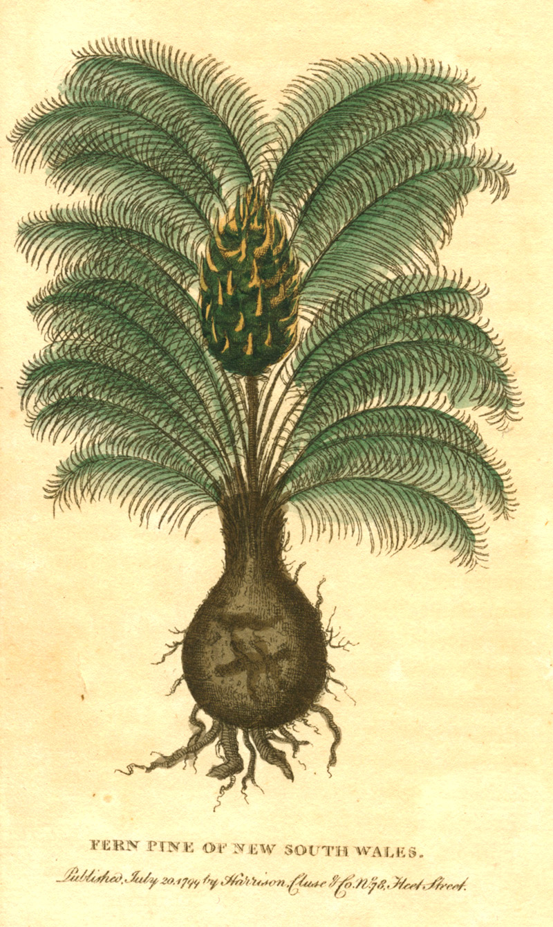 Australian Fern Pine of New South Wales. Early Australian botany c1799.