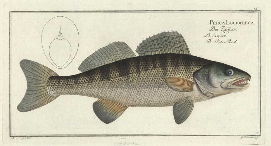 Fish. Perca Lucioperca. Rare Bloch fish antique print c1790.
