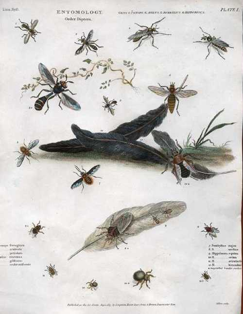 Rees Entomology Order of Diptera Insects antique print c1814