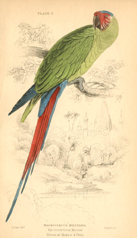 Edward Lear Great Green Maccaw, Macrocercus militaris c1836