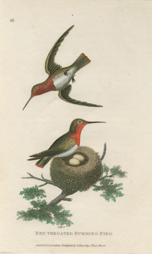 George Shaw Red-throated Humming Bird hand-coloured copperplate engraving c1808