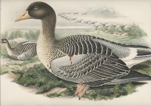 John Gould Birds of Great Britain, Grey-Lag Goose, Anser Ferus. c1870.