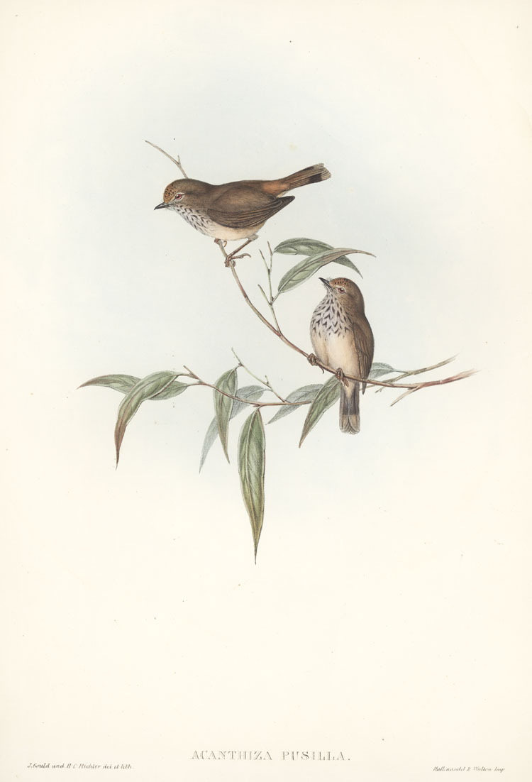 John Gould Little Brown Thornbill, Acanthiza pusilla c1848