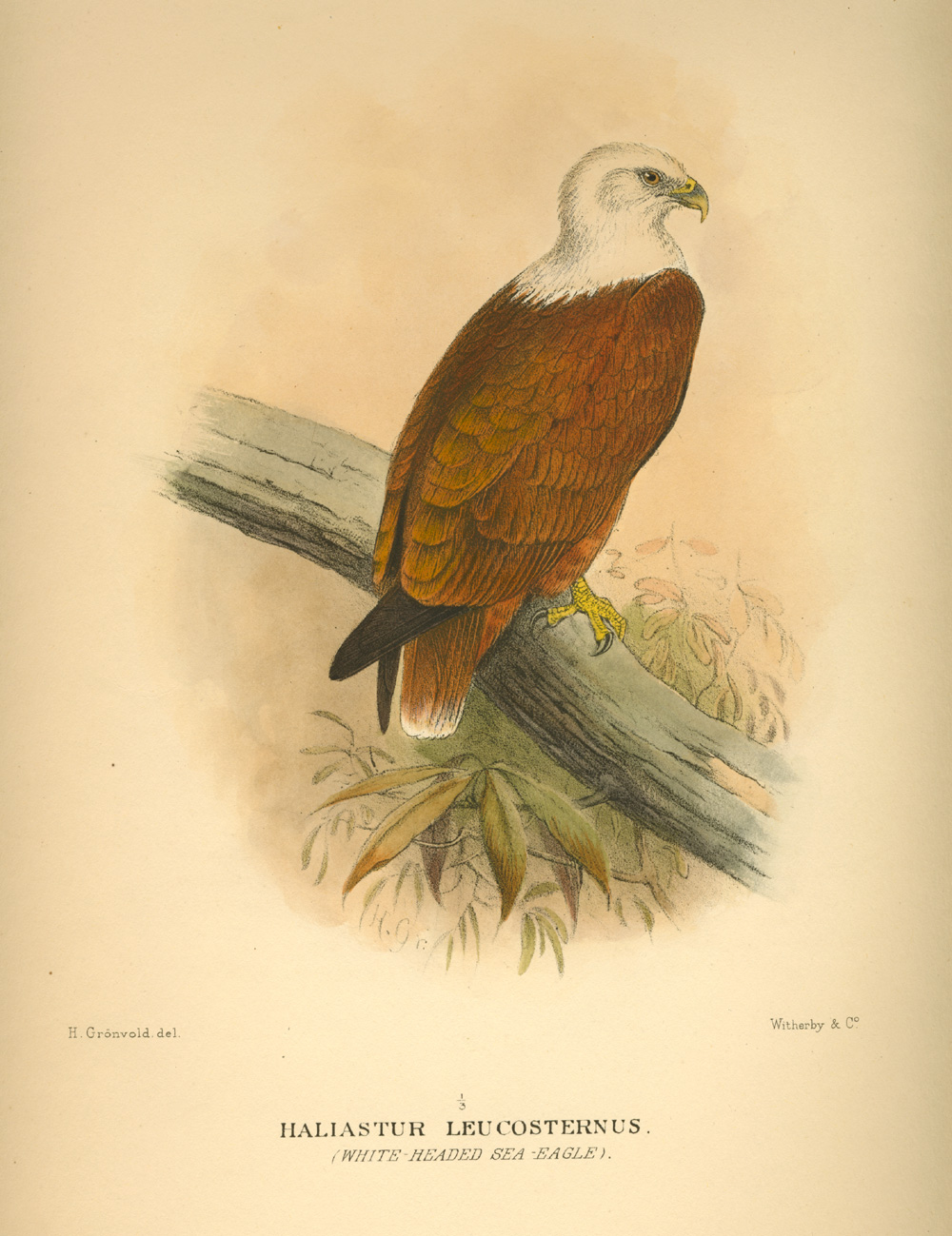 Australian Brahminy Kite, White-headed Sea-Eagle, Haliastur Leucosternus. Mathews c1916.