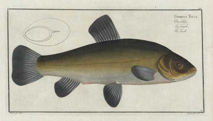 Tench fish. Cyprinus Tinca. Rare Bloch fish antique print, c1797.