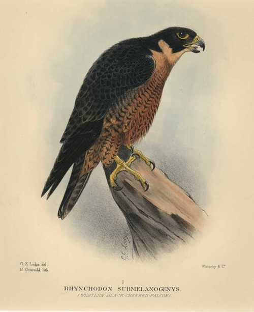 Australian Peregrine Falcon. Western Black-Cheeked Falcon. Gregory Mathews c1910