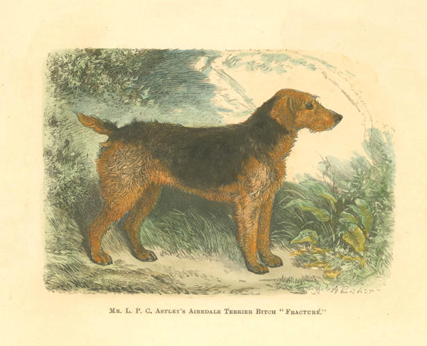 "Mr. L.P.C. Astley's Airedale Terrier Bitch ""Fracture."