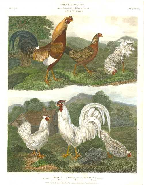 Poultry: Malay, Dorking & Frizzled Cocks antique engraving c1808