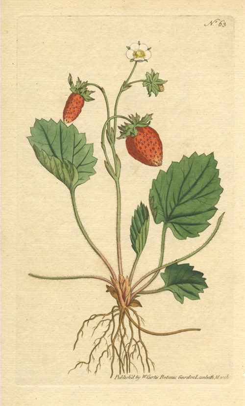 Strawberry of Versailles. William Curtis Fragaria monophylla engraving c1788.