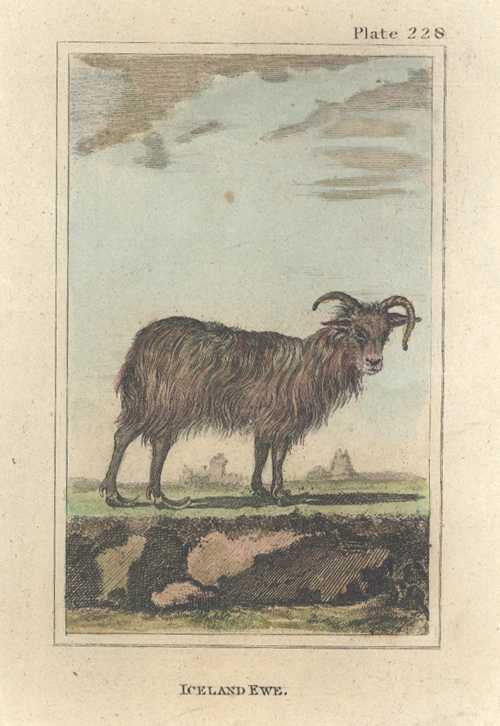 Buffon, Iceland Ewe antique print, c1788.