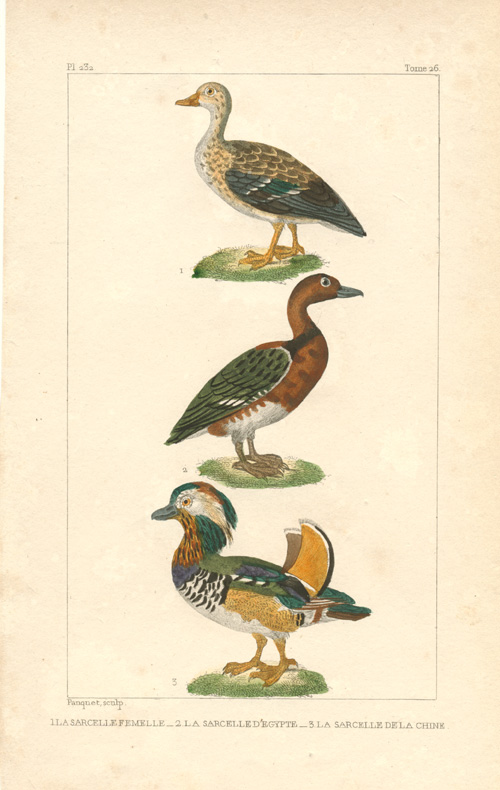 Les Sarcelles. Charming engraving of colourful ducks. Pauquet, c1836.