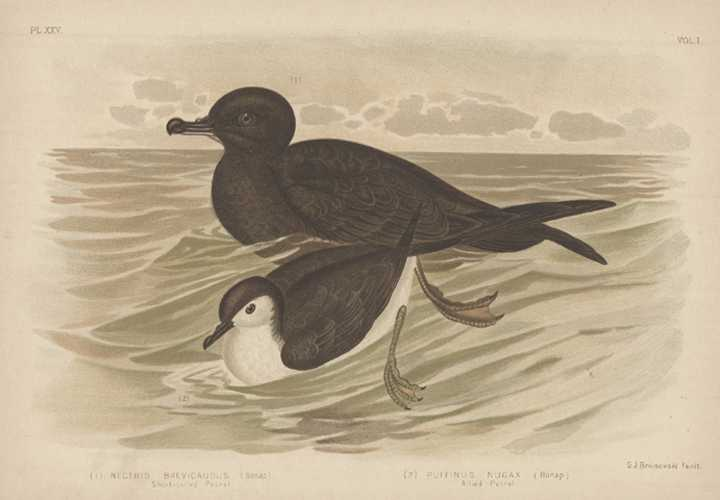 Broinowski Petrels lithograph. Australian Mutton Bird Antique Print c1890