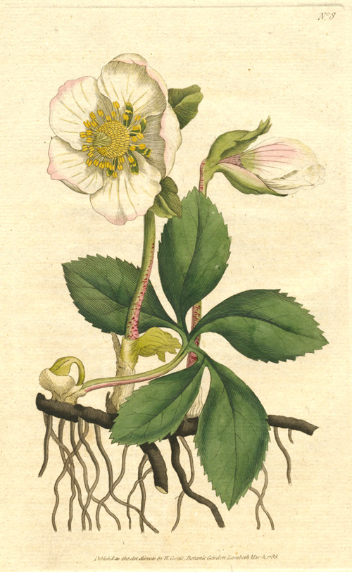 William Curtis Hellebore Niger (Black Hellebore), Christmas Rose c1786.