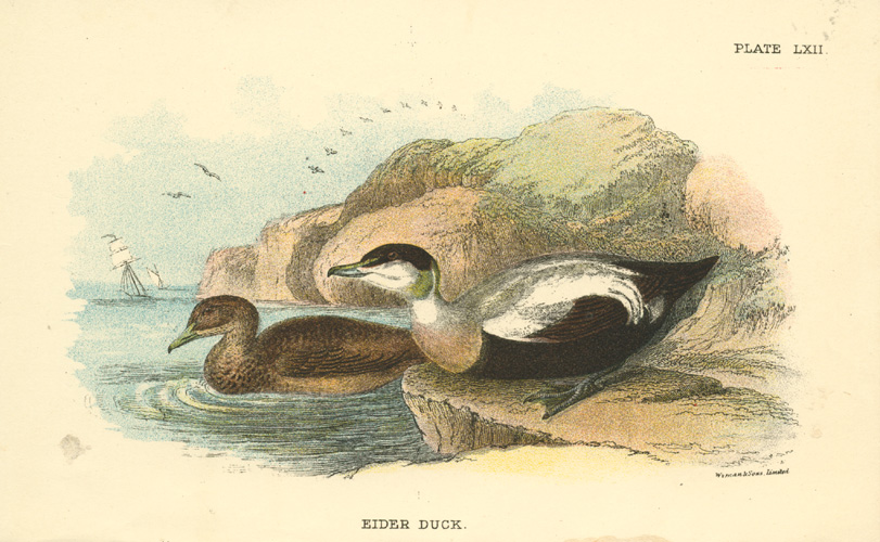 Half-price small antique print of an Eider Duck, c1897
