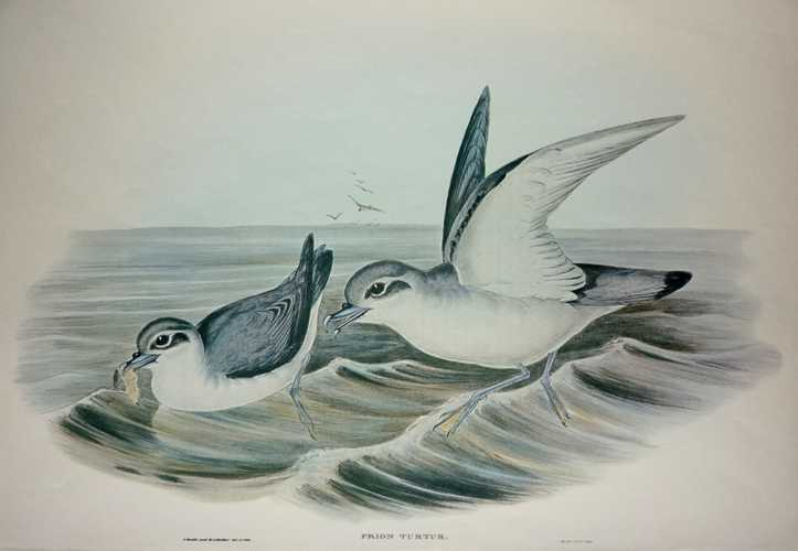 Gould Prion Turtus, Australian Dove-like Prion reproduction print.
