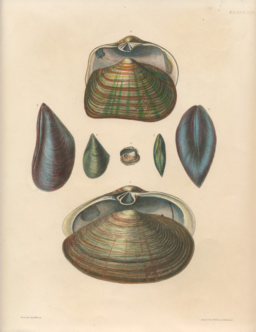 Dramatic representation of Bivalve Molluscs, engraved by Lizars c1845.