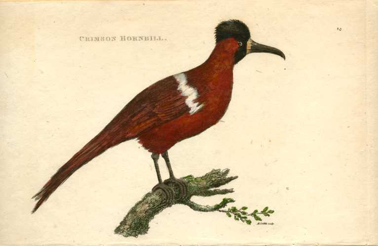 George Shaw Crimson Hornbill hand-colored antique print c1808
