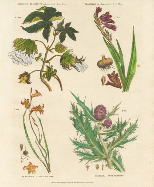 Cotton Tree, Gladioli, Thistle, botanical specimens, c1817 for Green's Herbal