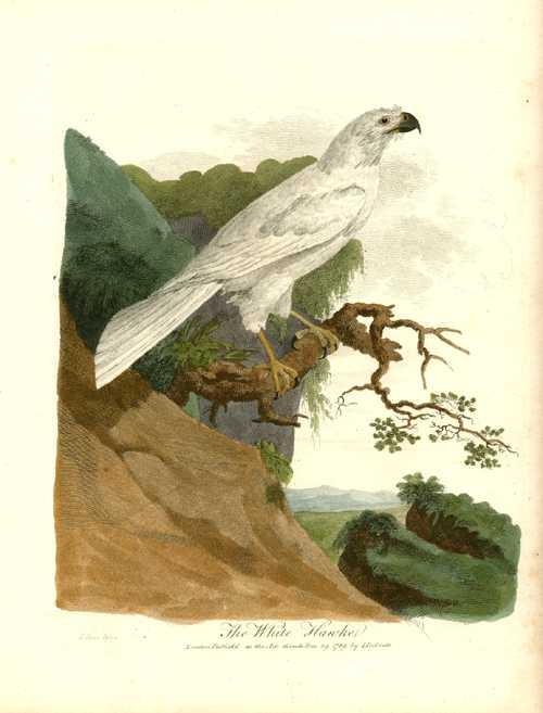 The White Hawke. White's Journal antique engraving c1790