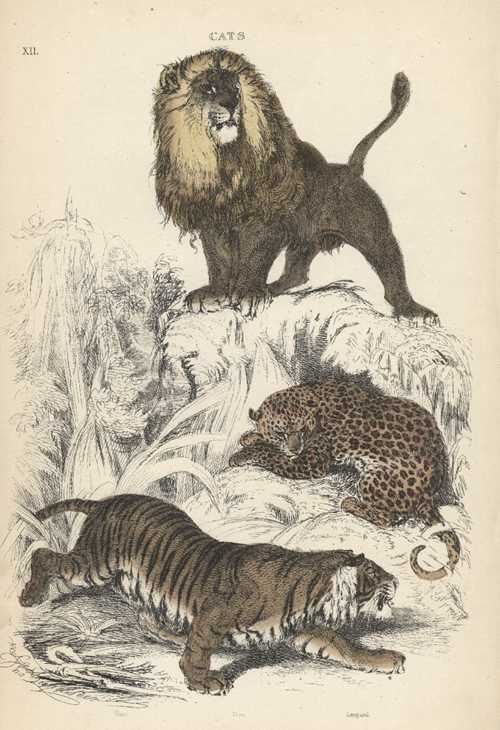 Antique print of Wild Cats. Lion, Leopard and Tiger c1854.