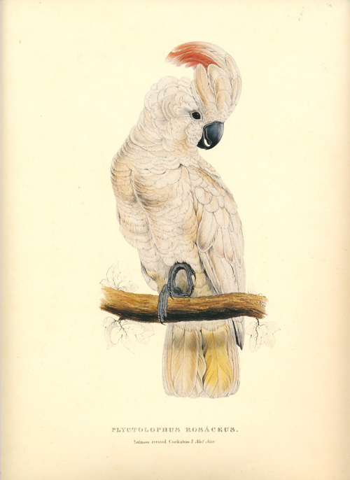 Limited Edition. Edward Lear Plyctolophus Rosaceous, Salmon-crested Cockatoo (Moluccan Cockatoo) print