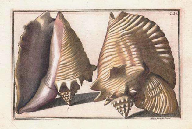 Stunning 18th century large Shells antique print. Gualtieri c1742