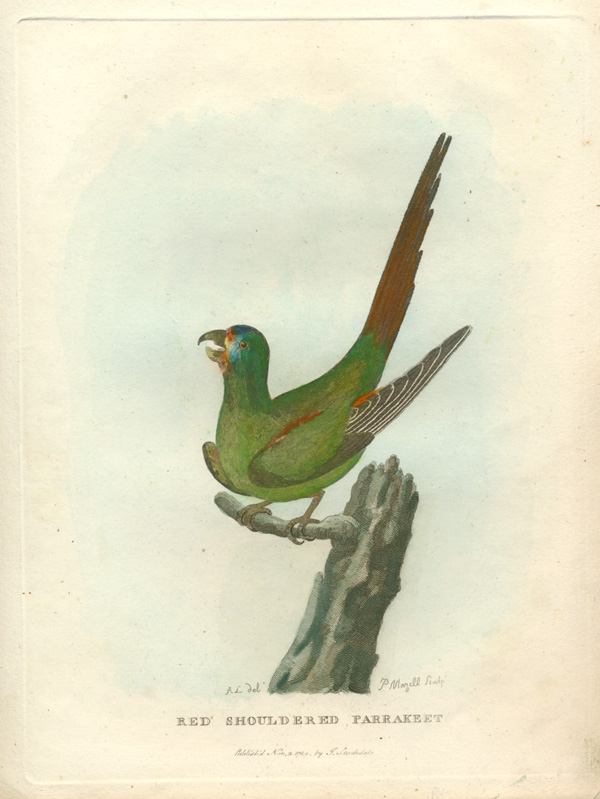 Red Shouldered Parrakeet engraving. Voyage of Governor Phillip c1789.