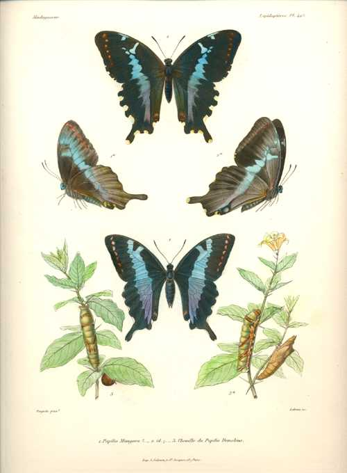 Lebrun superb hand-coloured Butterflies of Madagascar Pl.49 c1870