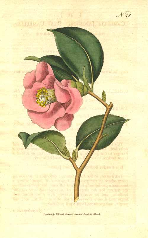 William Curtis Camellia Japonica. Rose Camellia copper-engraving c1788.