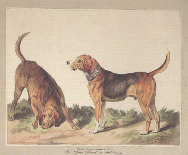 Dog Print: Blood Hounds. Reproduction from a watercolour