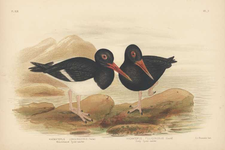 Broinowski Australian bird lithograph of Oyster-catchers. c1890