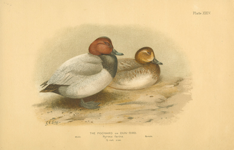 The Pochard or Dun-Bird. Nyroca ferina c1904.