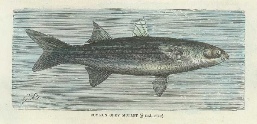 Fish. Mullet Antique Print. Common Grey Mullet. Lydekker c1894