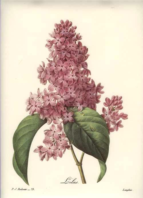 Beautiful Pink Lilac print. Redouté Lilas, reproduction print.