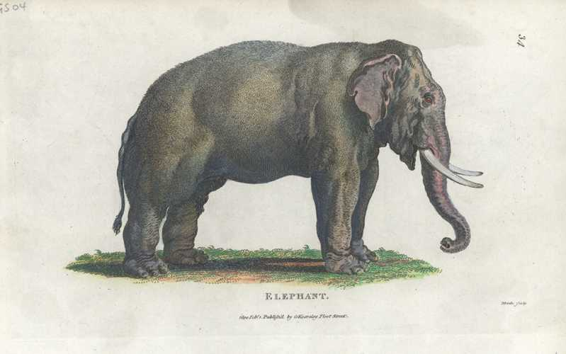 George Shaw Elephant Antique Print by George Kearsley c1801.